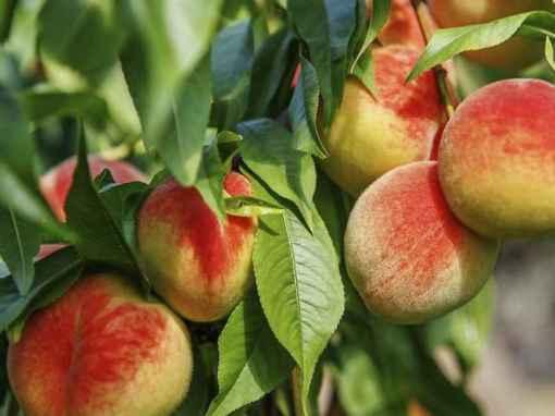1 Peaches flip