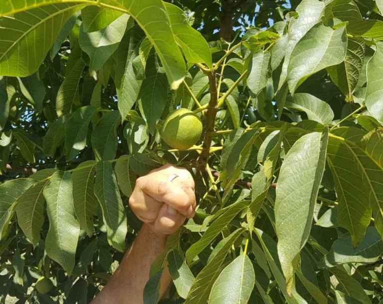 Зеленият орех още на дървото