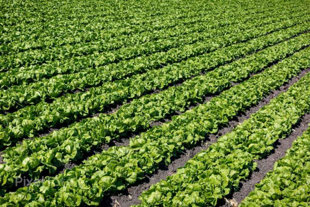 pv-lg-field-with-rows-of-iceberg-lettuce-ready-to-be-harvested-default-stock-photo